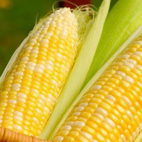 Corn Cobs icon